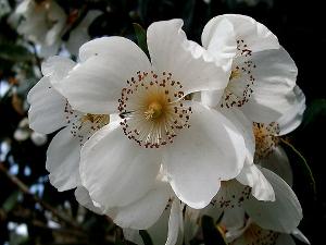 Eucryphia_cordifolia