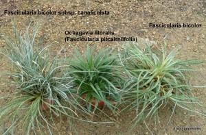 Fascicularia-