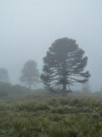 Araucaria.Parque Nacional Huerquehue.